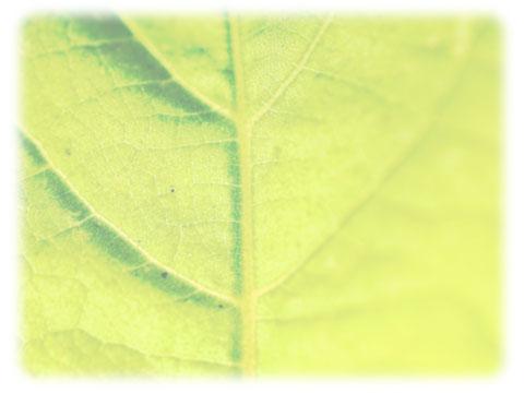 クロロフィル 葉緑素